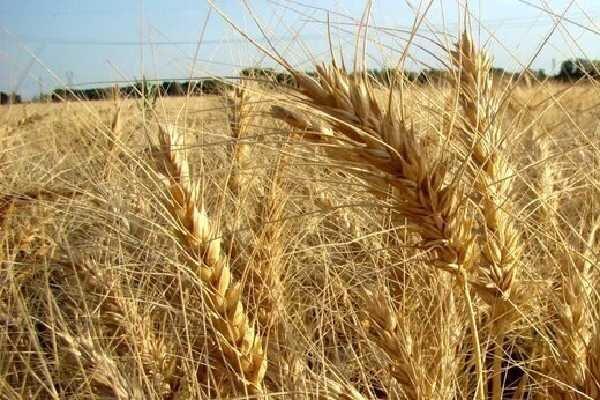 شورای قیمتگذاری نرخ جدید گندم را ابلاغ کرد