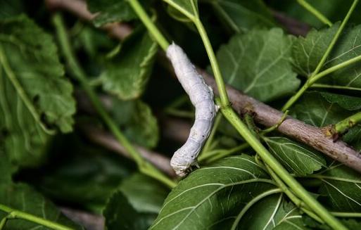 پیش بینی تولید ۱۷۵۰ تن پیله تر ابریشم در پرورش بهاره