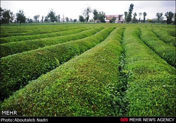 کشف ۷۵۰ کیلو چای تقلبی در جنوب شرق تهران